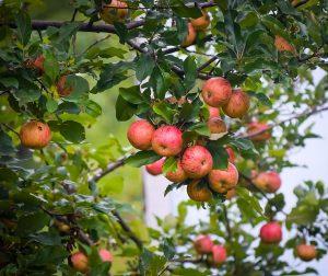 Wilde appels aan de boom