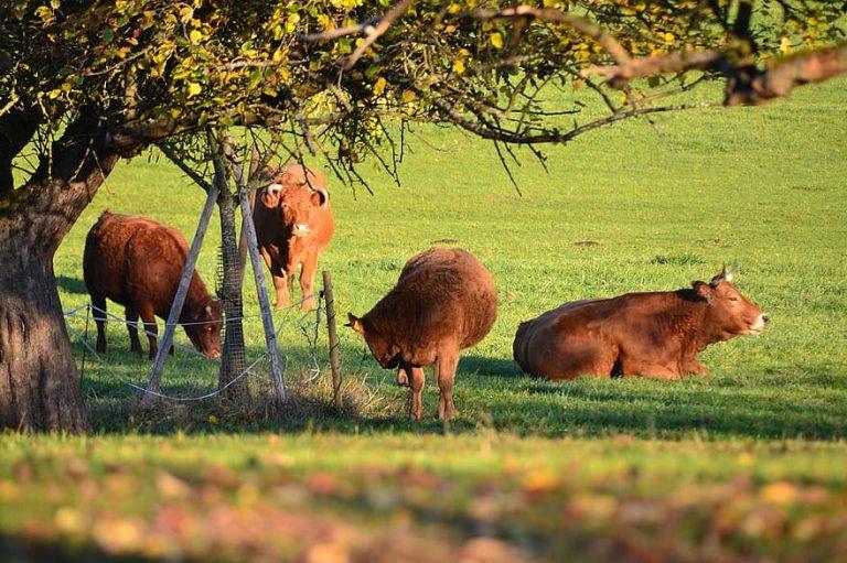 Geef iedere koe een boom tijdens deze hitte!